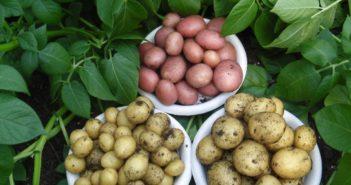 картофель в подмосковье