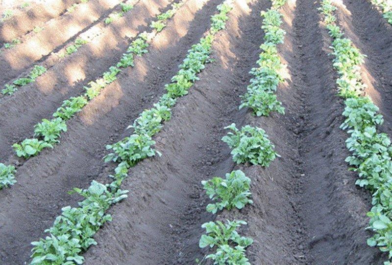 Картофель, выращиваемый на гребнях