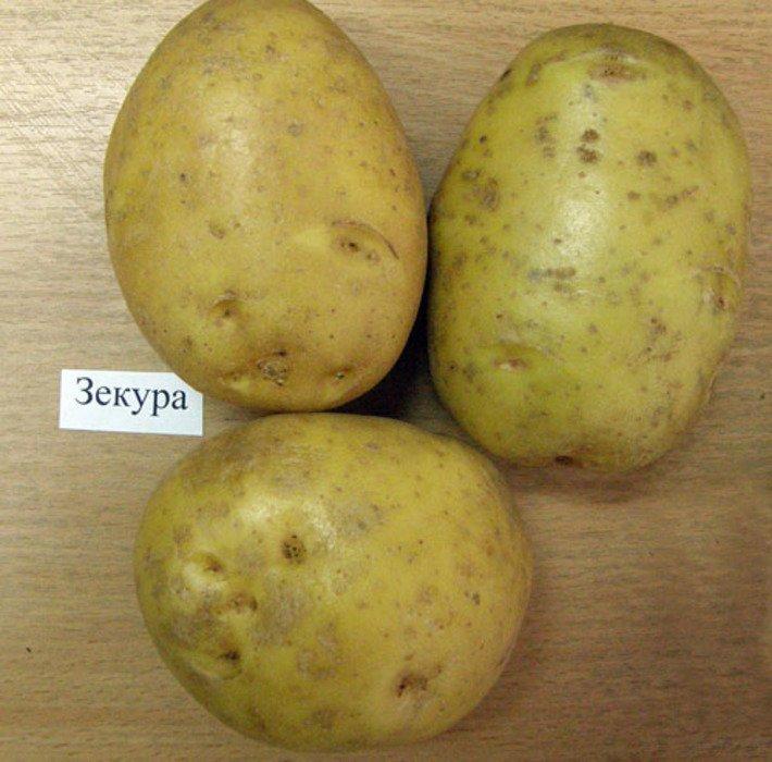 Сорт сладкого картофеля Зекура