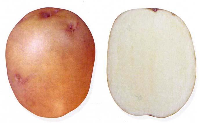Картофель Жуковский ранний в разрезе