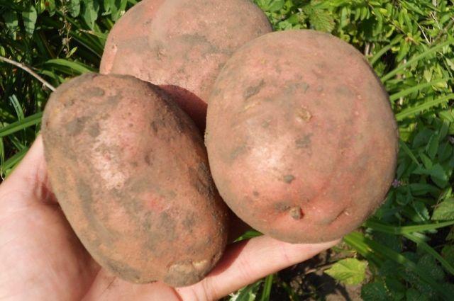 Крупные клубни картофеля в руке
