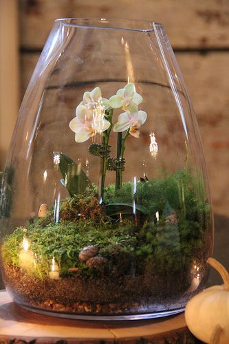 Каттлея во флорариуме