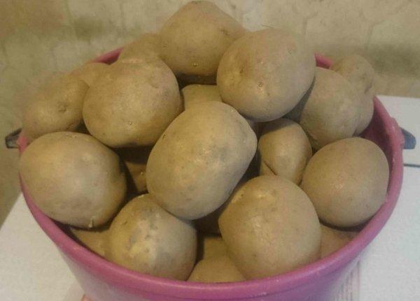Картофель сорта Колобок