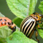 Насекомое-вредитель колорадский жук