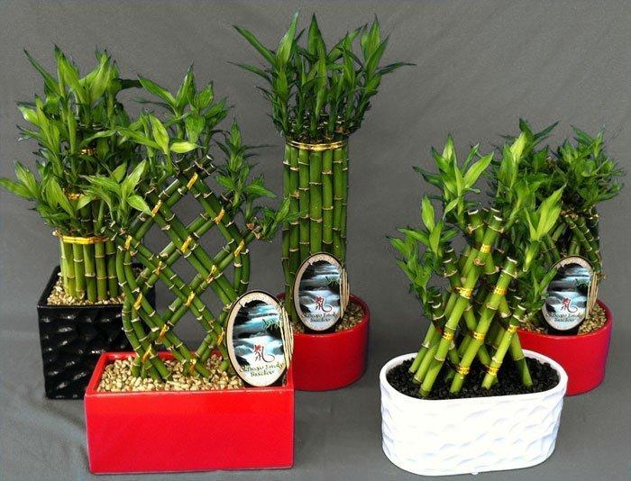 Композиции из счастливого бамбука