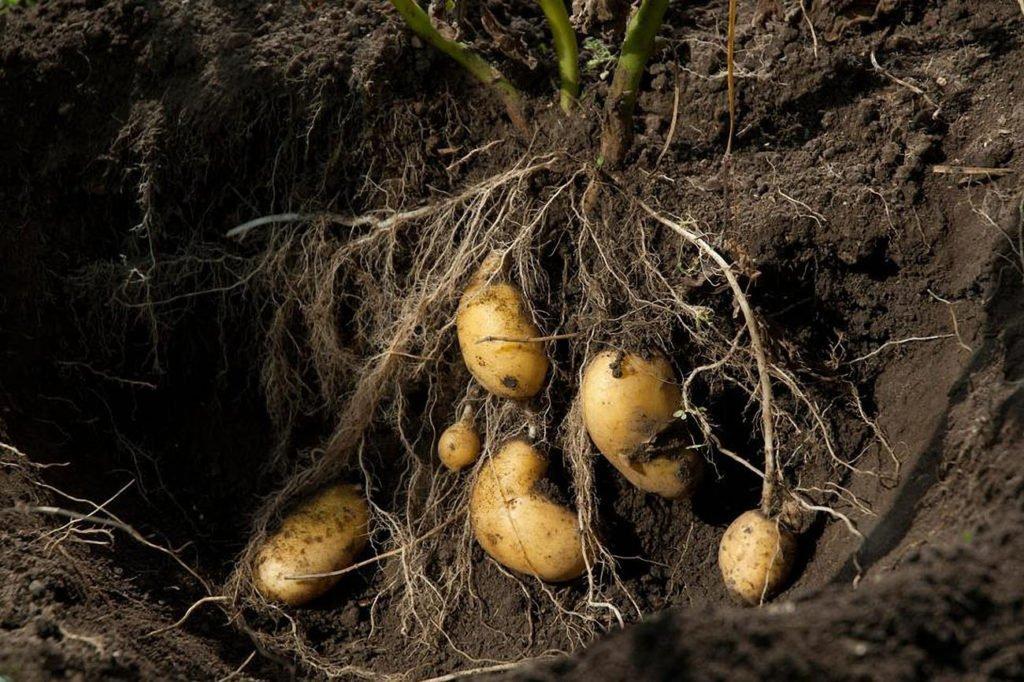 Корневая система картофеля
