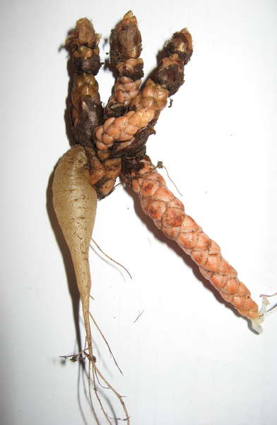 Корень кислицы (оксалис)