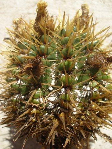Корневой червец на кактусе