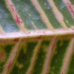 Красные пятна на обратной стороне листа