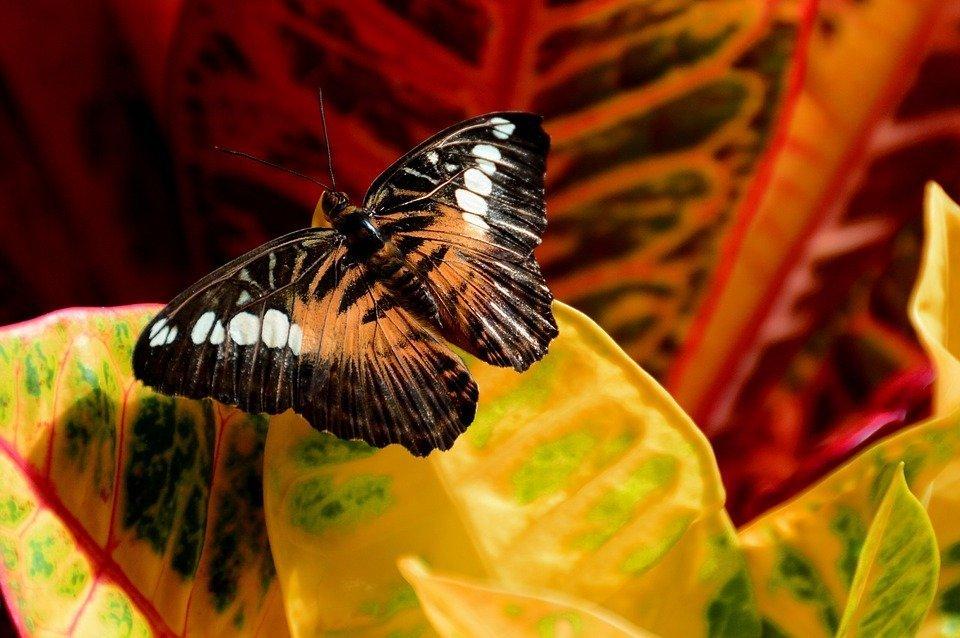 Кротон и бабочка