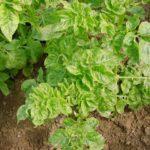 Болезнь картофеля -кучерявая карликовость