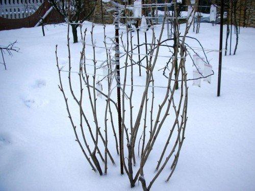 Куст малины в снегу