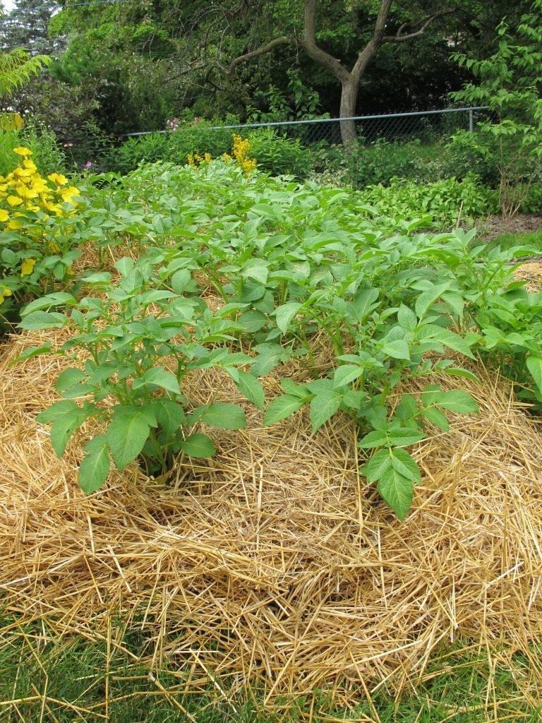 Картофель, выращиваемый под соломой
