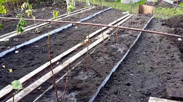 Ленточный метод посадки малины
