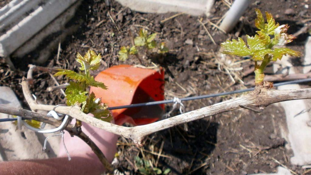 Лейка вливает жидкость под виноград