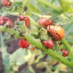 Насекомые-паразиты личинки колорадского жука