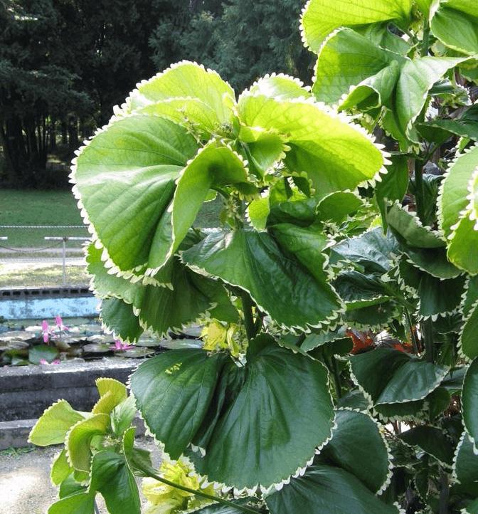 листья акалифы