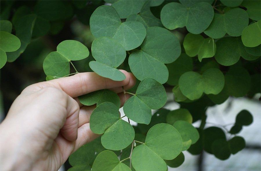 Листья баухинии