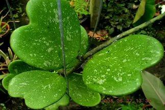 Листья хойи керри