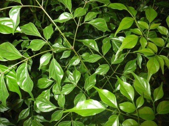 Листья радермахеры