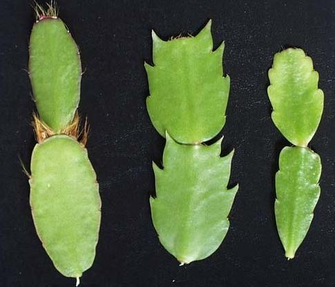 Листья рипсалидопсиса и шлюмбергеры