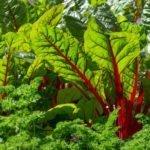 Листья свеклы с красными прожилками