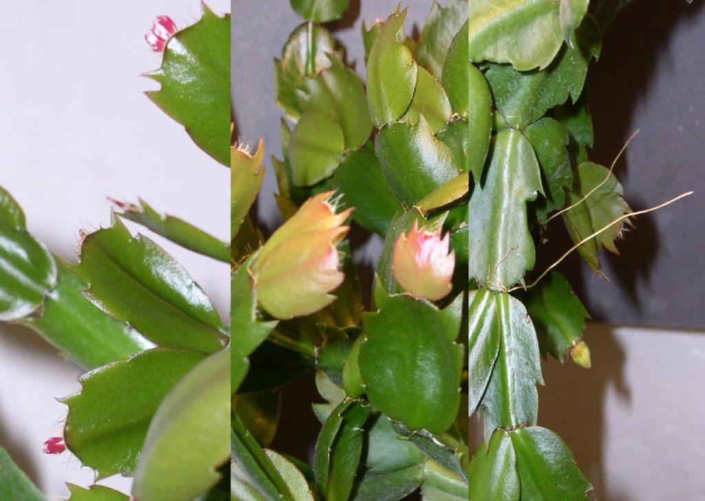 Листья шлюмбергеры, воздушные корешки