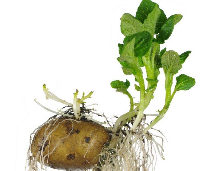 Проростки картофеля с молодыми листьями