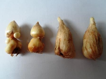 Луковицы фрезии перед посадкой