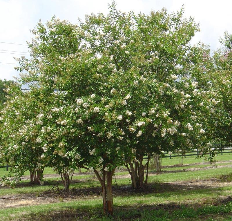 Цветущее дерево мирта
