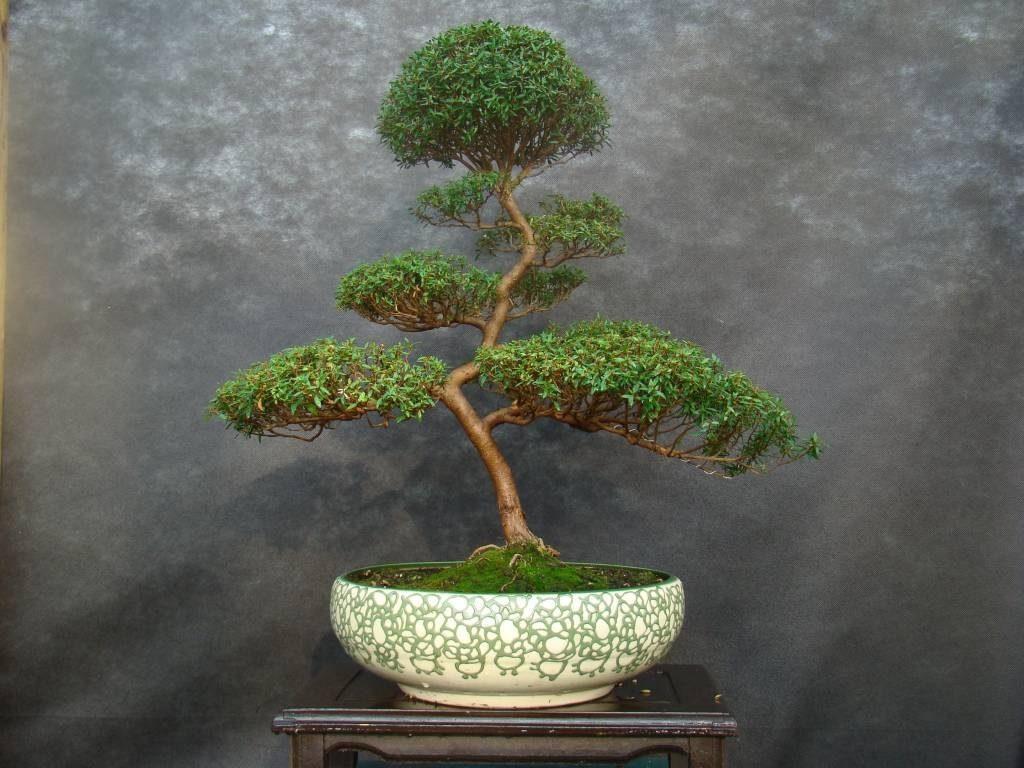Мирт-бонсай