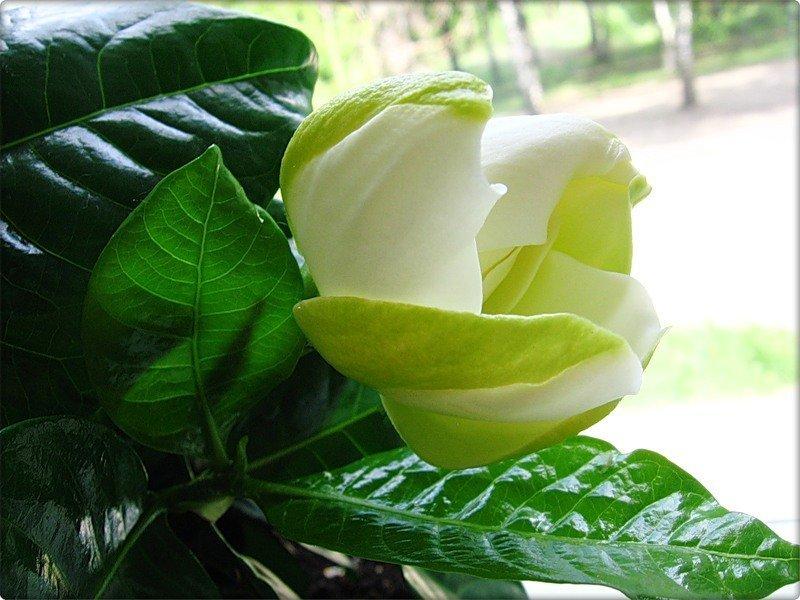 Распускающийся цветок гардении