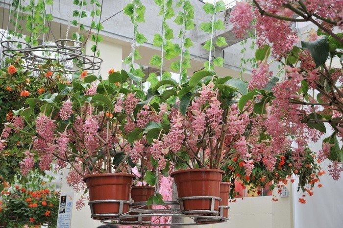Мединилла и другие растения
