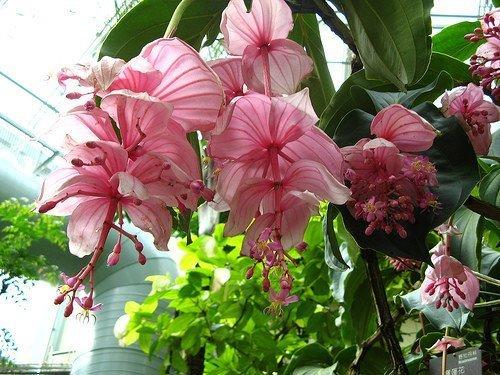 Мединилла цветёт