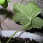Лист с мучнистым червецом