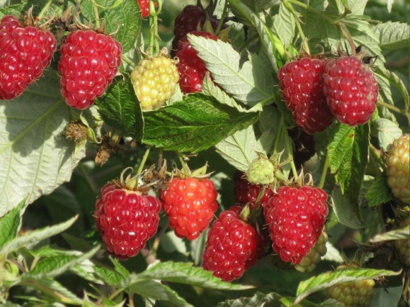 Таганка — вкусная ягода-малинка