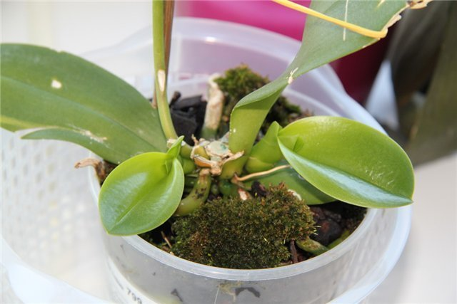 Материнское растение