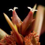 Цветки и нектар беложильчатого молочая