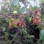 Монилиоз вишни на листьях