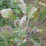 Мучнистая роса груши