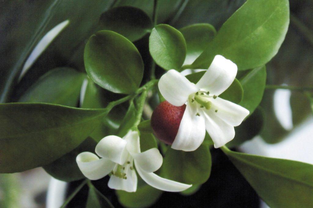 Цветок и плод мурайи