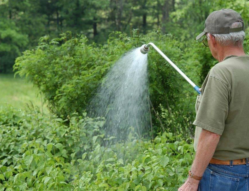 Мужчина поливает малиновые кусты