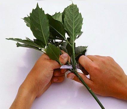 Подготовка черенков аукубы