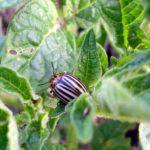 Насекомое-паразит колорадский жук