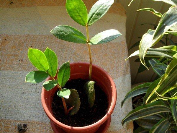 Новые листья молодого замиокулькаса