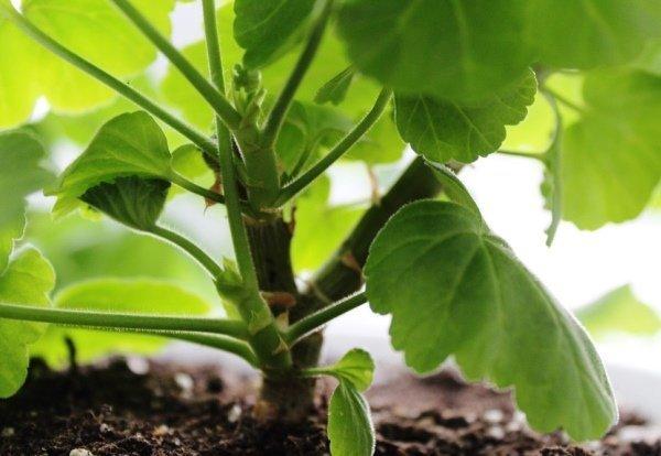 Новые ростки герани