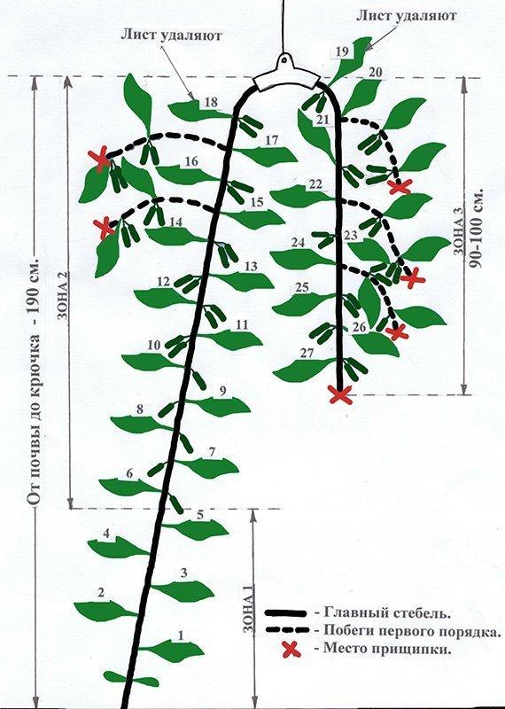 Схема формирования огуречного куста с помощью крючка