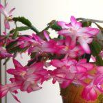 Обильно цветущая шлюмбергера