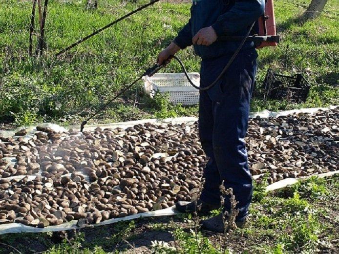 Обработка картофеля перед проращиванием