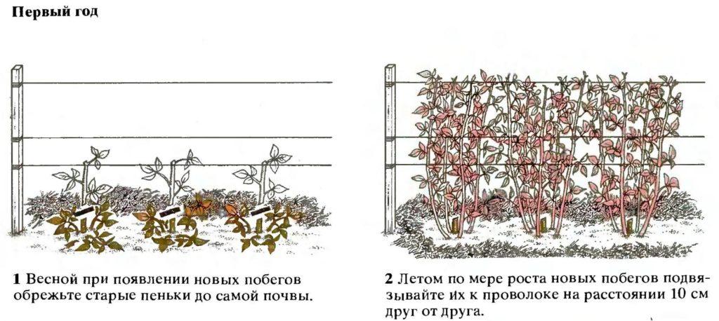Обрезка малины в первый год